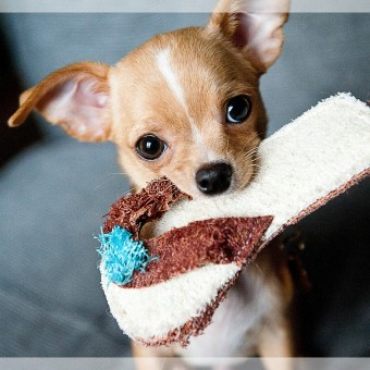 chewy chihuahua