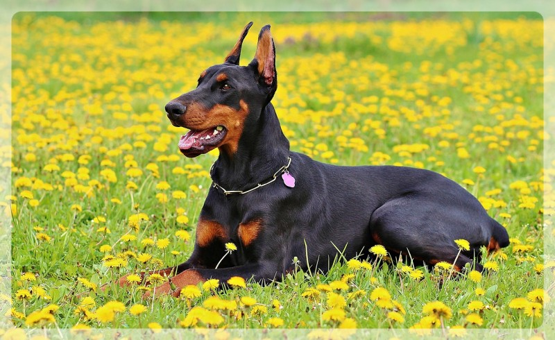 doberman guard