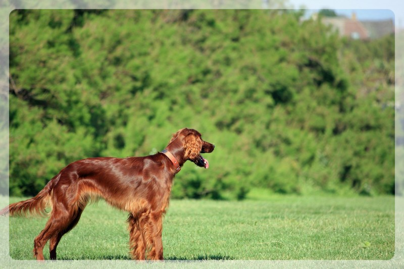 healthy irish setter