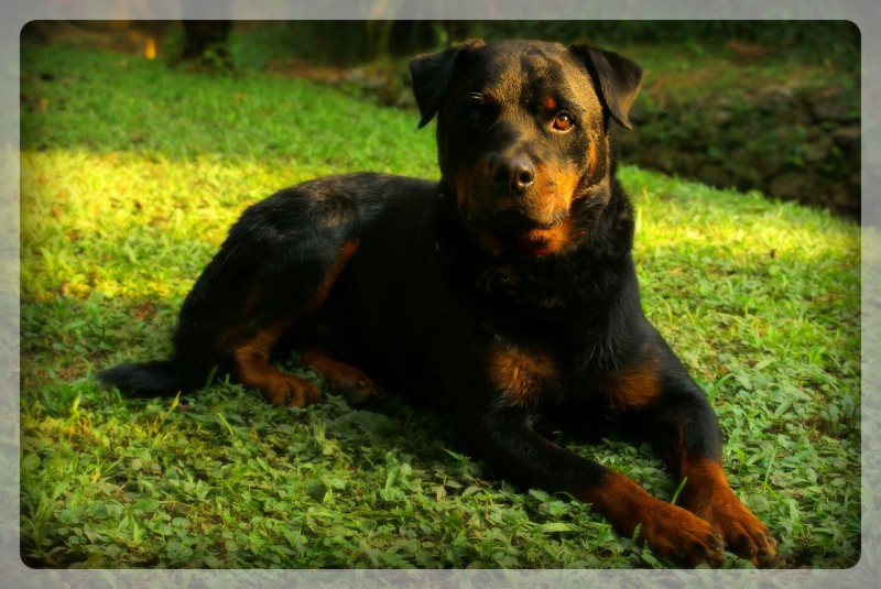 rottweiler on guard