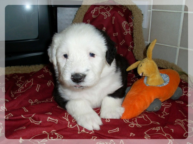 english sheepdog puppy